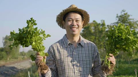 4K Happy Asian farmer harvest fresh vegetables at his farm, Tilt up shot Footage