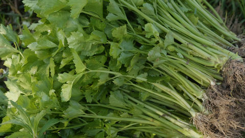 4K Fresh organic parsley harvested in the morning Live Action