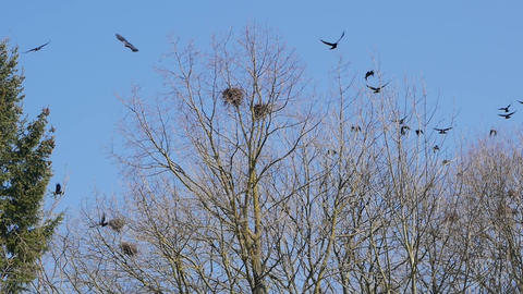A flock of crows circling in the sky Footage