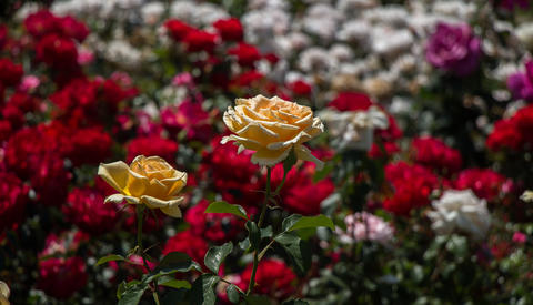 Blooming beautiful colorful roses in the garden Photo