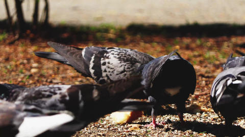 Pidgins Eating Piece Of Bread Live Action