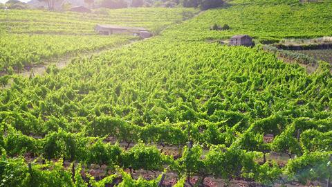Vineyard at sunset - aerial view Archivo
