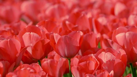 Tulip 13 ライブ動画