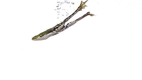 Edible Frog rana esculenta swimming, slow motion Live Action