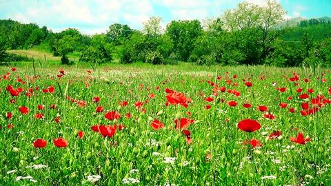 Field Of Beautifully Poppy Flower Footage