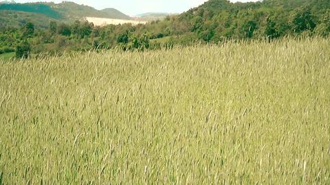 Field Oats in summer time ビデオ