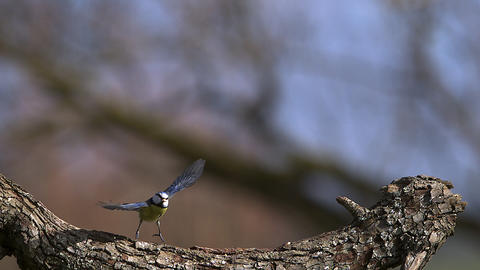 Blue Tit, parus caeruleus , Adult taking off from Tree Trunk, Flying with Food in its Beak, Slow Live Action