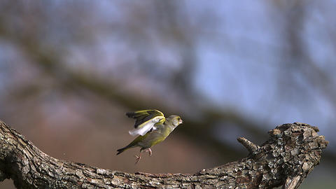European Greenfinch, carduelis chloris, Adult taking off from Branch with Food in its Beak, Slow Live Action
