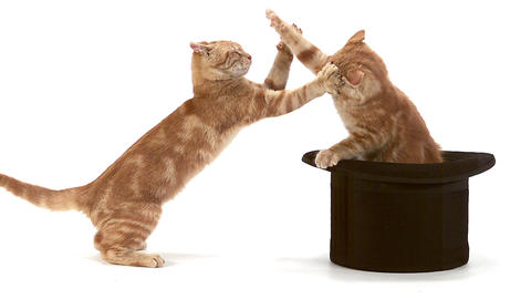Red Tabby Domestic Cat, Adults Playing in Top Hat against White Background, Slow motion Footage