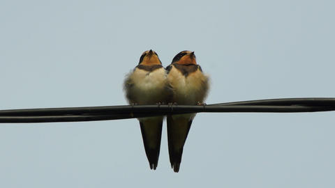 Couple swallows on wires Stock Video Footage
