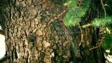 Cedar Tree Bark In The Winter stock footage