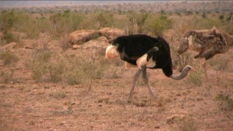 ostriches Footage