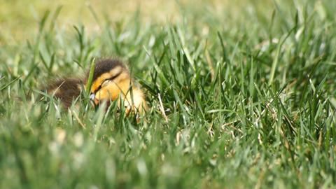 Sleeping Duck Baby Stock Video Footage