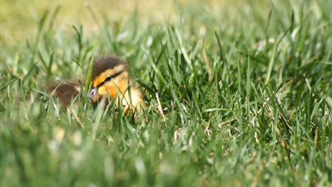 Sleeping Duck Baby stock footage