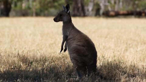 Kangaroo In Rest Stock Video Footage