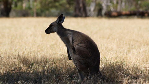 Kangaroo In Rest stock footage