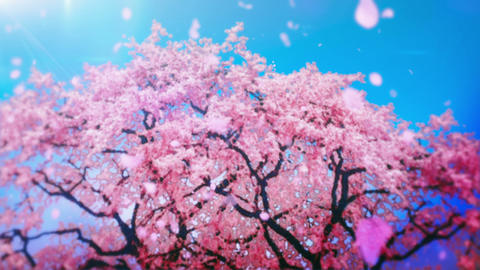 Cheery Blossom Tree 01A Stock Video Footage