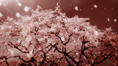 Cheery Blossom Tree 01C Stock Video Footage