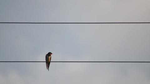 Single Bird On Wire Footage