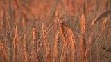 Golden, Ripe, Barley Field (whole Wheat) I stock footage