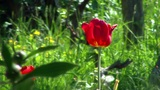 Red Tulip Slowly Swaying stock footage