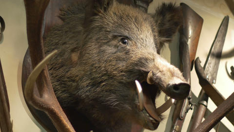 Hunted Wild Boar on Wall Live Action