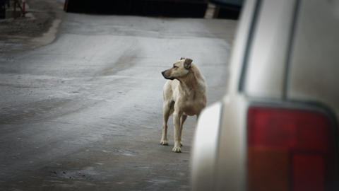 Stray dog on the road Footage