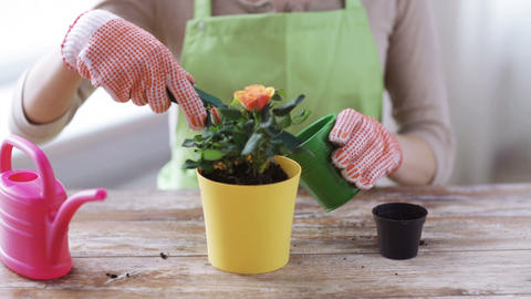 close up of woman hands planting roses in pot Footage