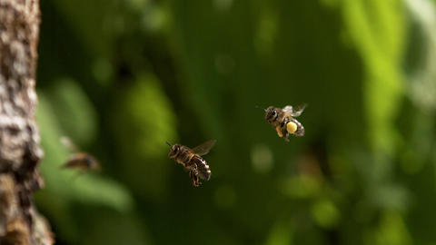 European Honey Bee, apis mellifera, Adults flying with note full pollen baskets, Slow motion Footage