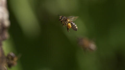 European Honey Bee, apis mellifera, Adult flying with note full pollen baskets, Slow motion Footage
