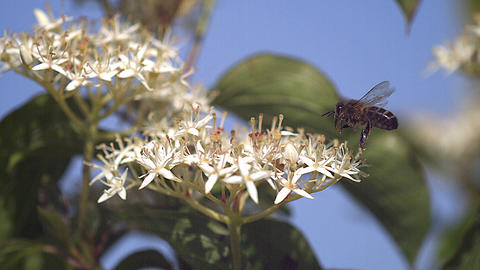 European Honey Bee, apis mellifera, Adult flying and collecting nectar from white Flower, Slow Footage
