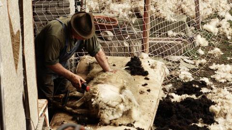 peasant shears sheep by hand Fotografía