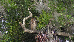 Great Horned Owl yawning Footage