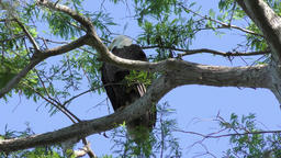 Bald Eagle perches on a branch Footage
