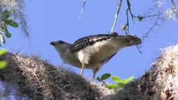 Red-Shouldered Hawk eats its prey Footage