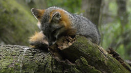 Gray Fox resting on a tree Footage