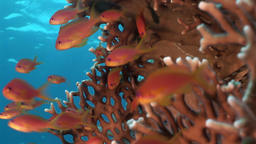 School of red fish on background underwater landscape in Red sea Footage