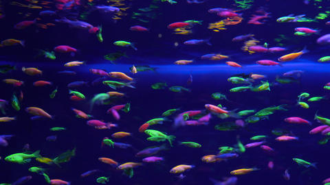 Lots of small bright neon fish in the aquarium Footage