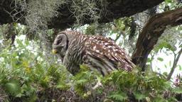 Barred Owl feeds on its prey Footage