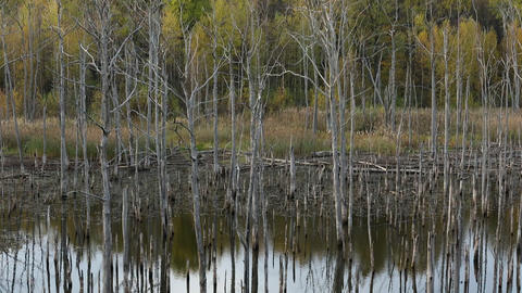 Dry Trees in the Lake Footage
