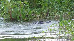 large alligator jumps Footage