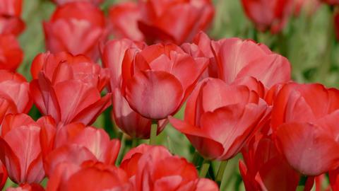 Tulip 16 ライブ動画