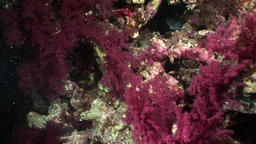 Coral violet purple color underwater in Red sea Footage