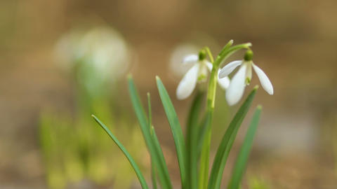 Beautiful first snowdrops Footage