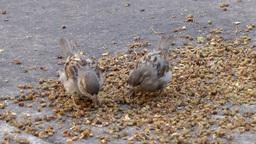 New York City 552 birds are pecking corns on the street Footage