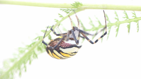 Warning coloration. Beautiful yellow black striped spider Argiope bruennichi cra Footage