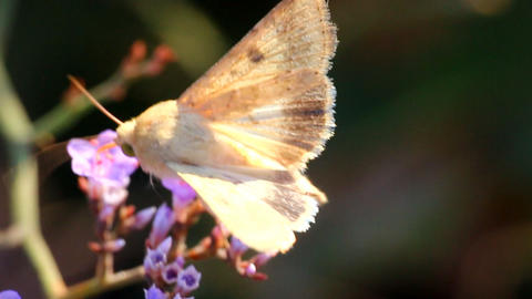The moth feeds on nectar on the flowers of limonium Footage
