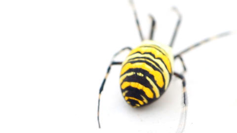 Big flashy yellow-and-black spider. Example of aposematic coloration Live Action