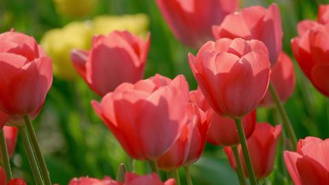 Tulip 18 ライブ動画