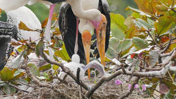 Painted Storks with flapper in a nest on tree Footage